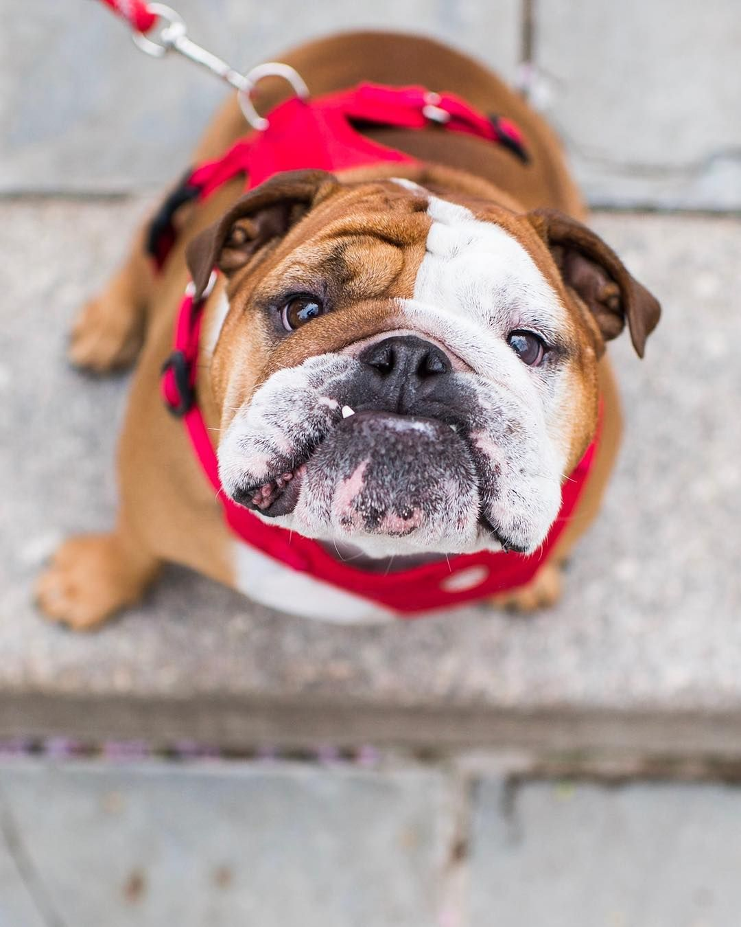 The Dogist On Instagram Elvis English Bulldog 4 Y O Carl Schurz Park New York Ny He Runs The Household Chien Francais Chien Loup Chien
