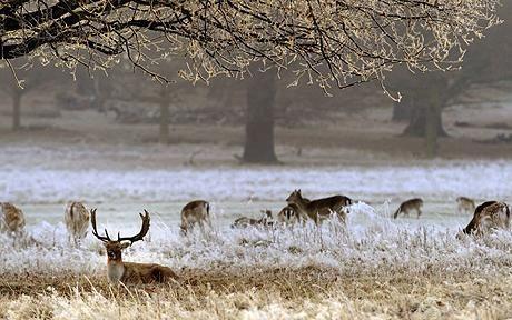 Deer in Richmond Park, London. London park, Richmond