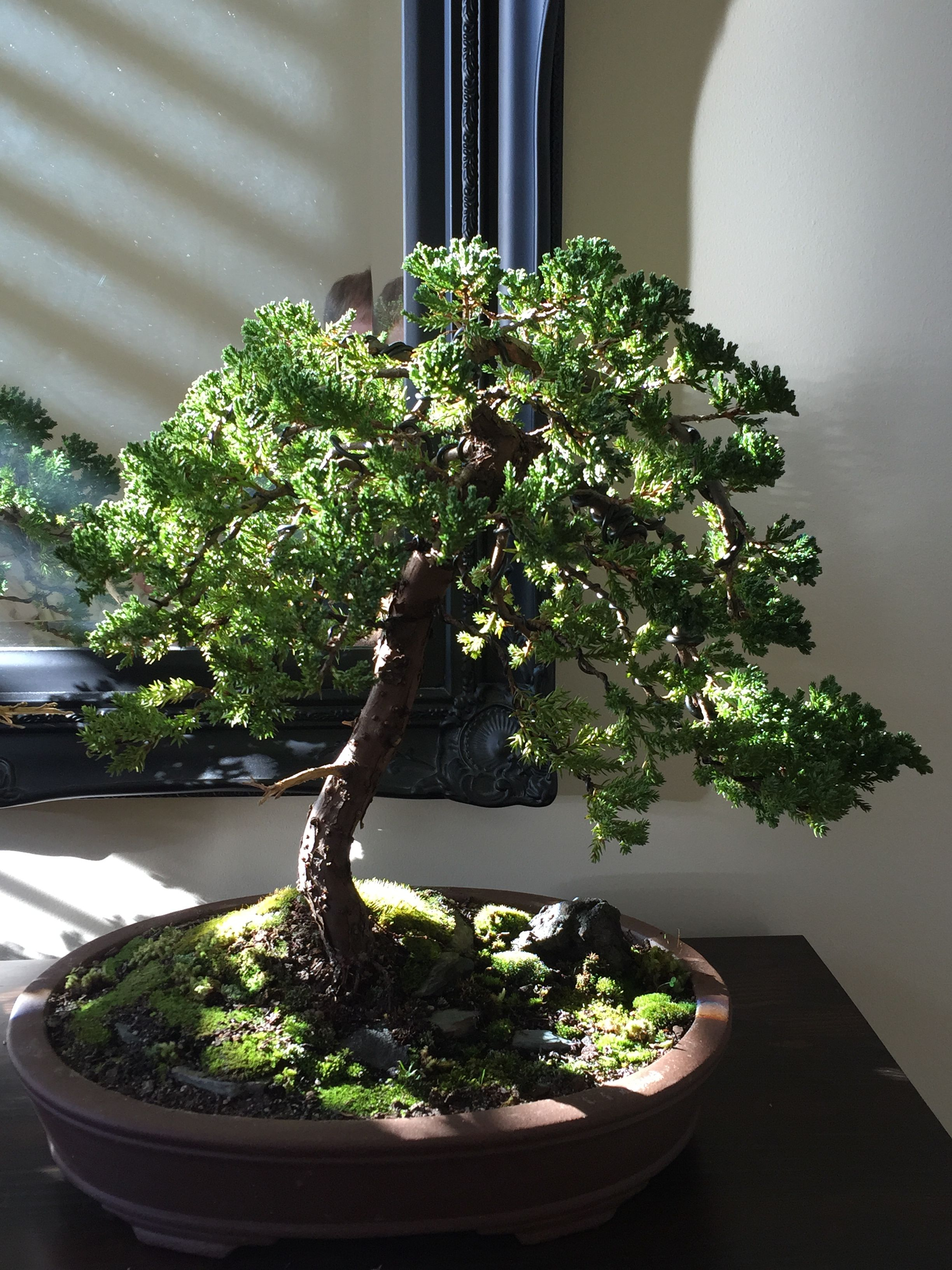 my bonsai juniper 2 after wiring potting and landscaping 24 06 16 rh pinterest com Bonsai Wiring Tips Bonsai Wire Sizes