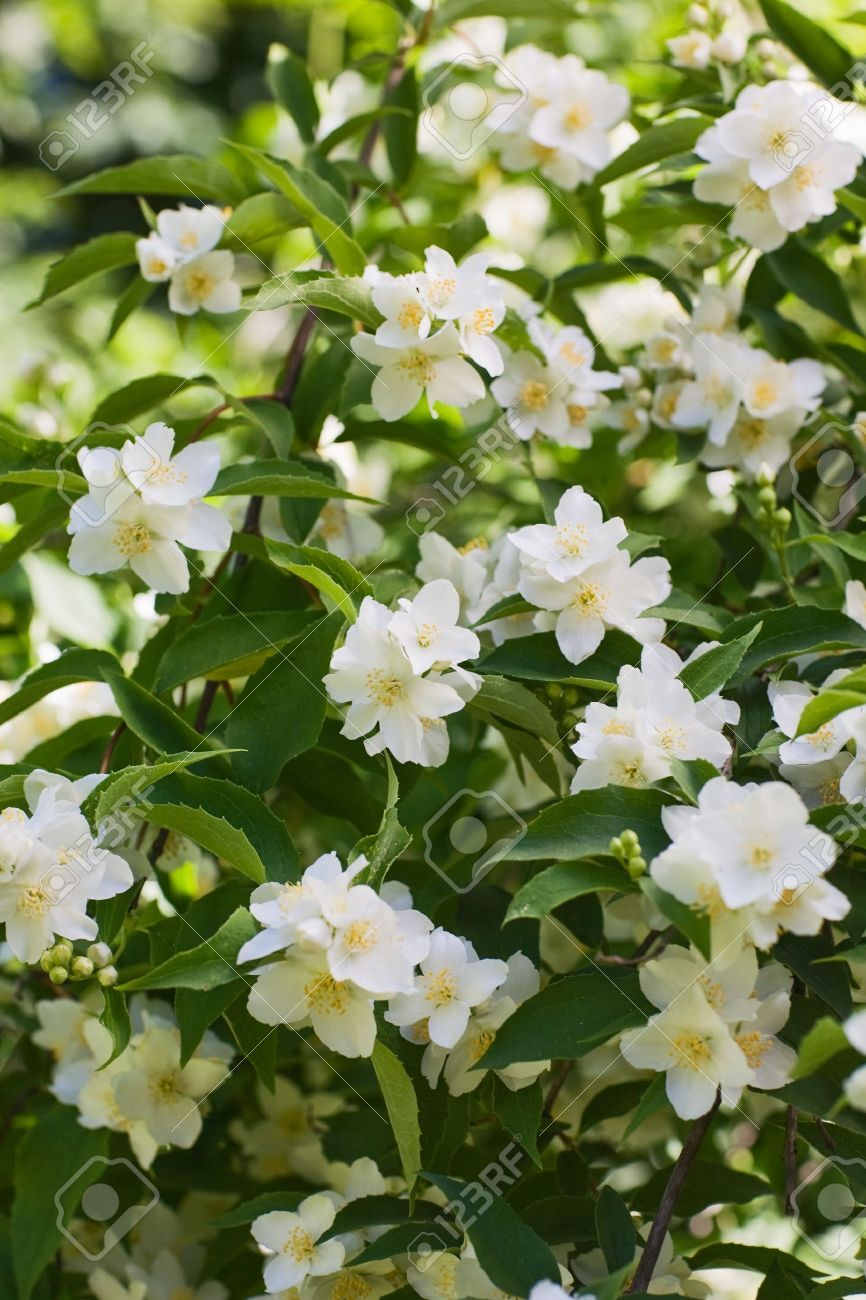 Where to buy jasmine flowers stock flower images pinterest where to buy jasmine flowers izmirmasajfo