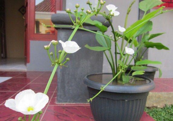 Gambar Bunga Hidup Dalam Pot Cara Menanam Dan Merawat Bunga Melati Air Dengan Mudah Di Rumah Gadogado Fygalery Pot Tanaman Gambar Bunga Bunga Menanam Bunga