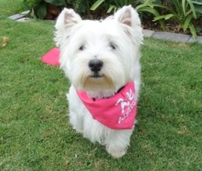Sammi is an adoptable West Highland White Terrier Westie Dog in Huntington Beach, CA. Hi there, my name is Sammi & my sister is Meggie. Our Mom was sick and she just could not take care of us anymore....