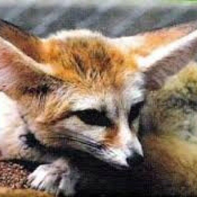 My Fursona Unusual Animals Pet Fox Animals