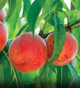 Golden Jubilee Peach 10 98 Popular Yellow Freestone Peach That Bears Large Crops By Age 3 Or 4 Great For Fast Growing Trees Peach Trees Garden Calendar