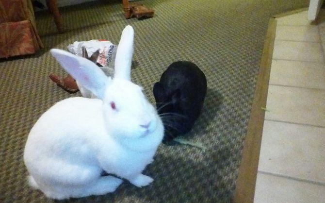 Bathe Your Pet Rabbit Pet Rabbit Pet Rabbit Rabbit Pets