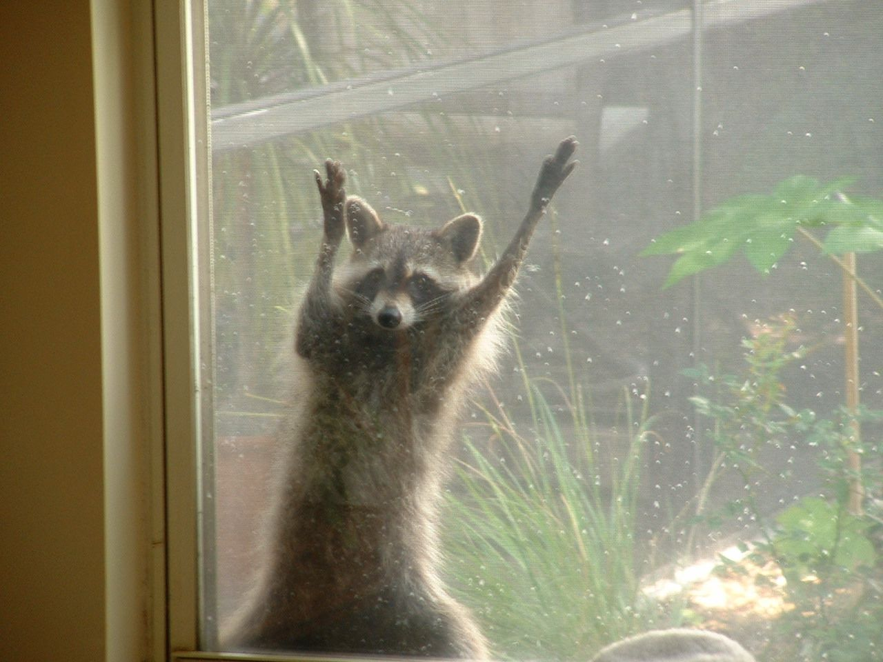 Raccoon hanging on our window screen waiting for a peanut butter sandwich |  Animals, Raccoon, Critter