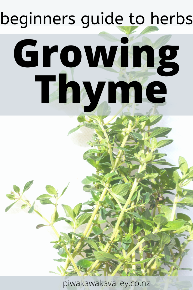 Growing Thyme for Beginners: Herbs on the Homestead