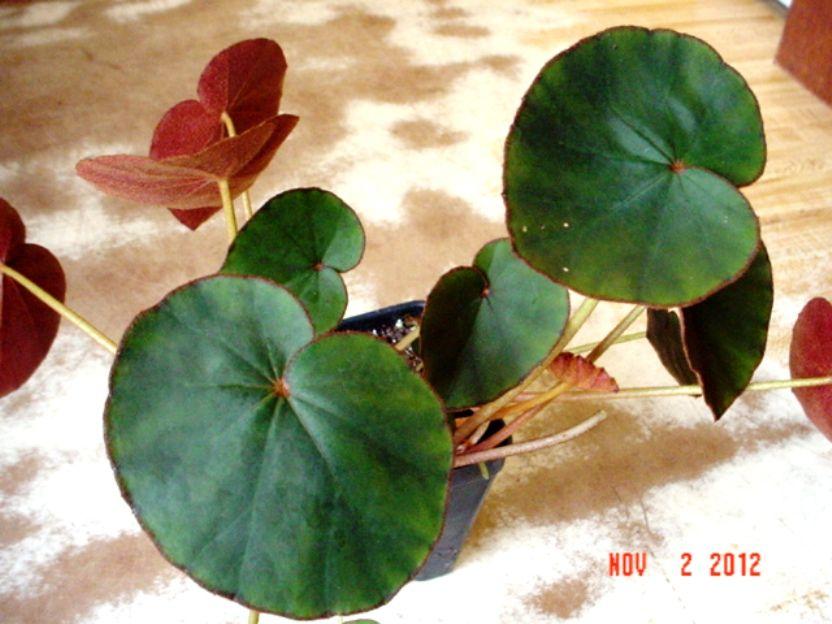 Begonia Lyman-Smithii - Google Search