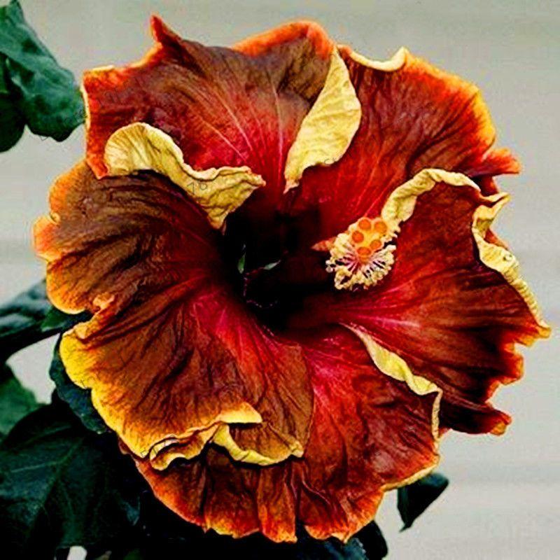 100 Db 24 Szinu Orias Hibiszkusz Magvak Hibiscus Evelo Virag Ebay Flowers Perennials Flower Seeds