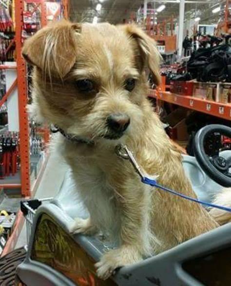 Adopt Nj Brad On Norwich Terrier Norfolk Terrier Dogs