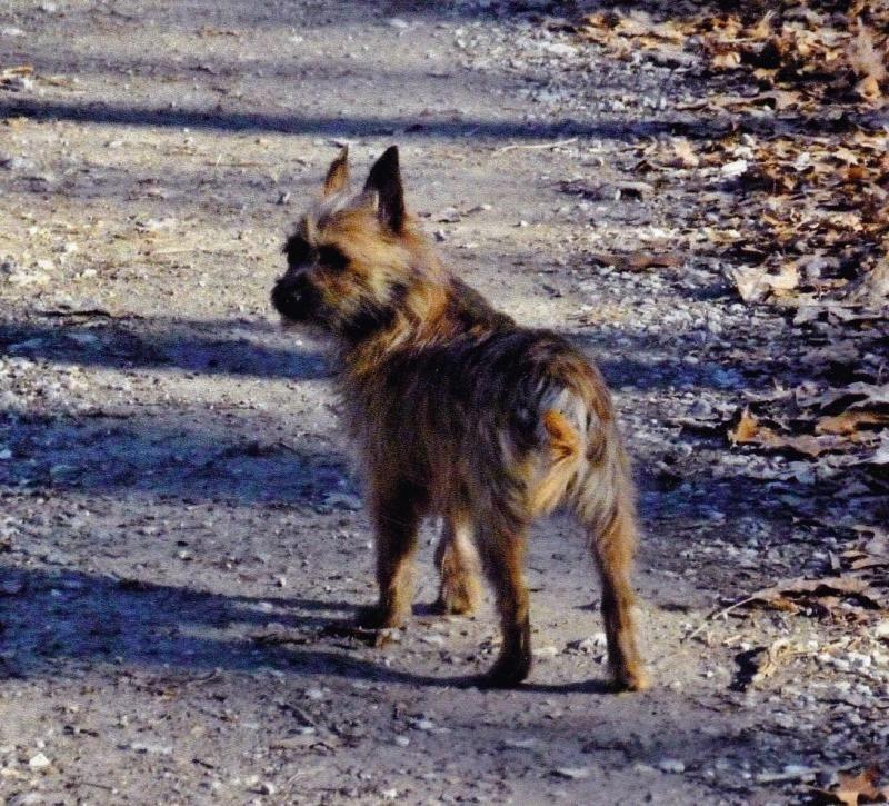 Adopt Kelsi On Cairn Terrier Terrier Cairn Terrier Mix