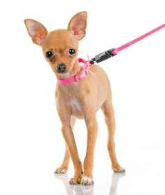 Teach Your Chihuahua Good Leash Manners Dog Clicker Training