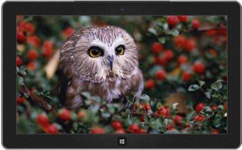 Birds Owls Macro Berries Owlet Fresh New HD Wallpaper Best Quality