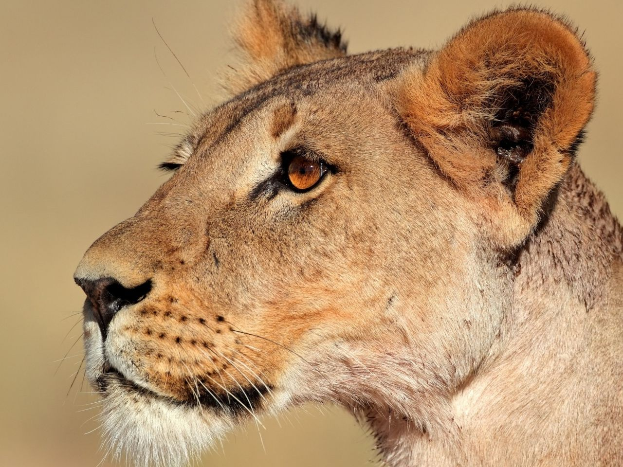 lioness face profile Google Search (With images) Lion