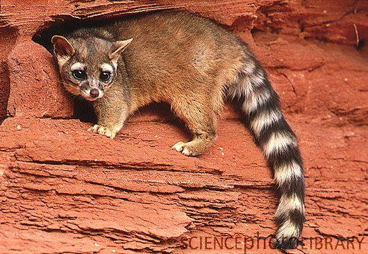 raccoon noises at night