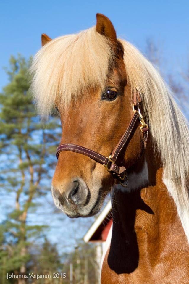 Stunning 5-gaited Icelandic Stallion