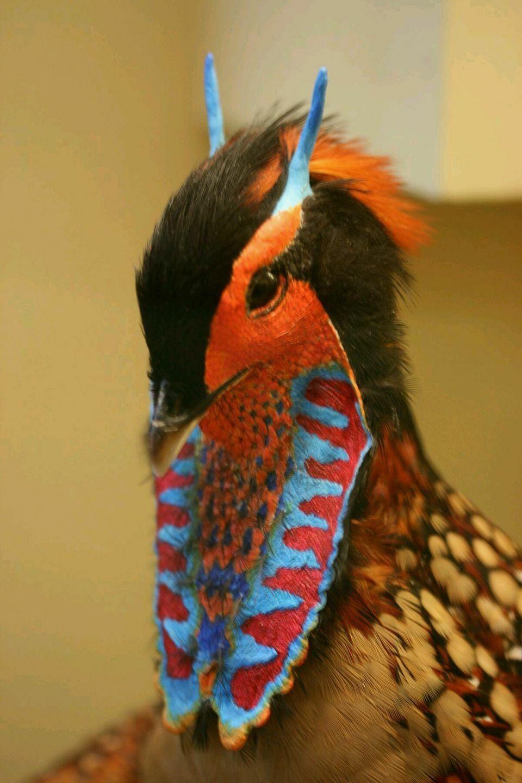 Cabot's Tragopan Colorful birds, Birds, Pet birds