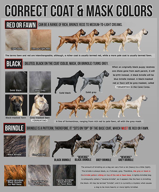 Learn about the history of the Italian Cane Corso. Watch