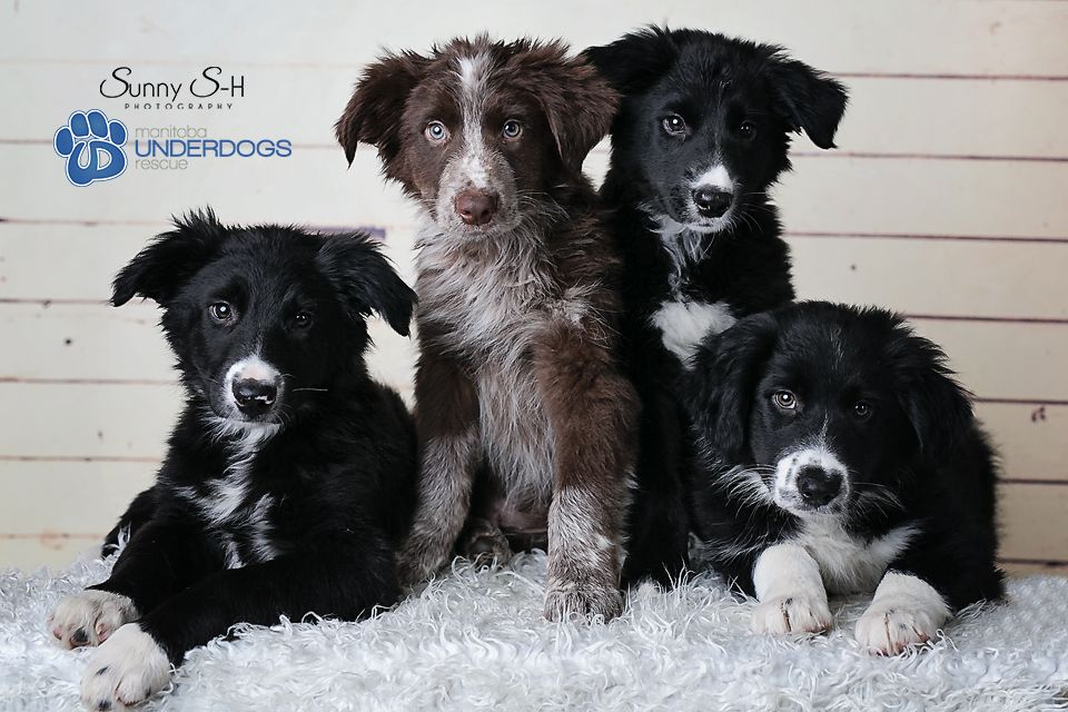 Crazy Cute 14 Week Old Border Collie Rescue Puppies For The Love