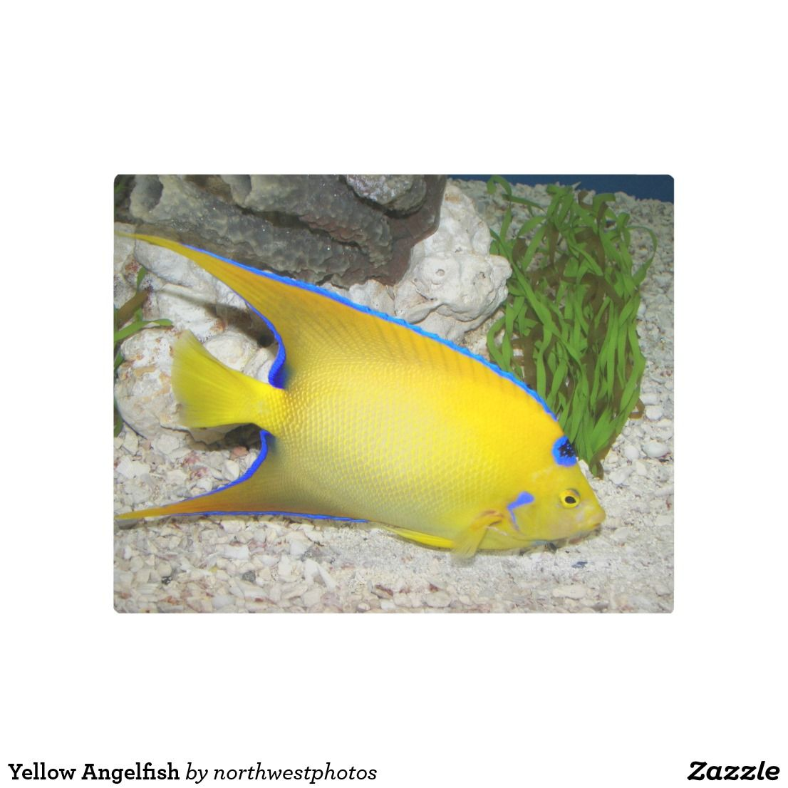 Yellow Angelfish Metal Print | Wall Art | Pinterest | Angelfish