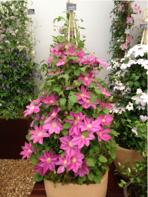 12 Spots Made Even More Beautiful By Clematis Clematis Plants Clematis Trellis Clematis Vine