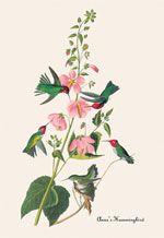 John James Audubon Book Covers on Canvas prints; Anna's Hummingbird