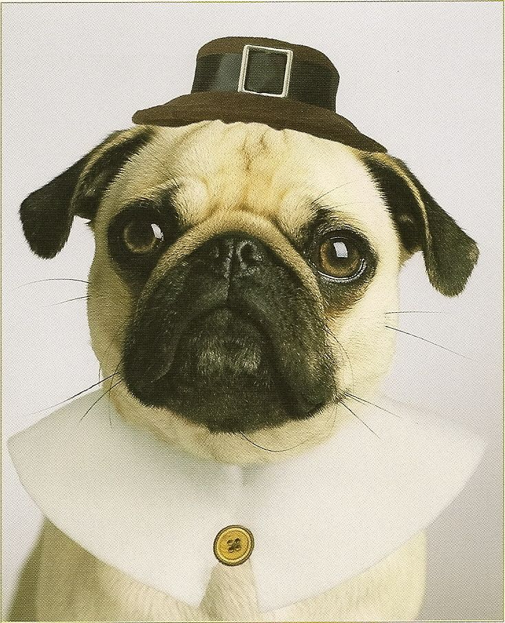 Happy Thanksgiving Pug With Images Pugs Funny Pugs Wrinkly Dog