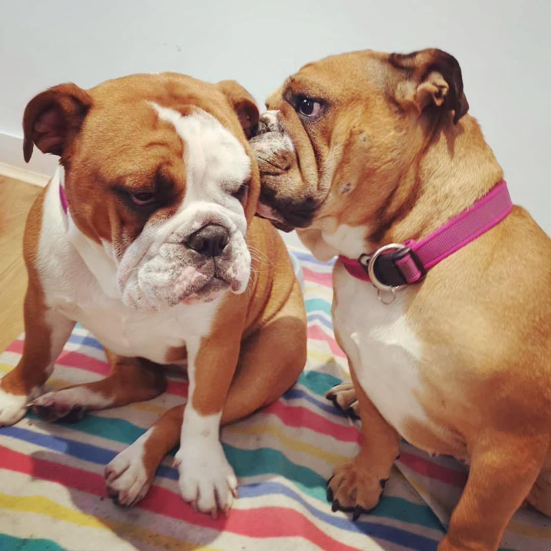 Bulldog Bulldogs Bulldogfrances Bulldogsofig Bulldoglove