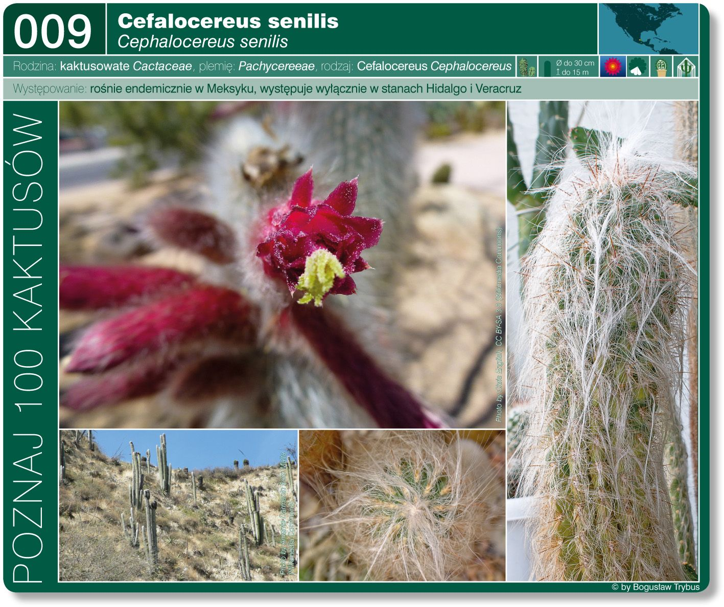 Cephalocereus Senilis Plantas Suculentas Plantas Suculentas