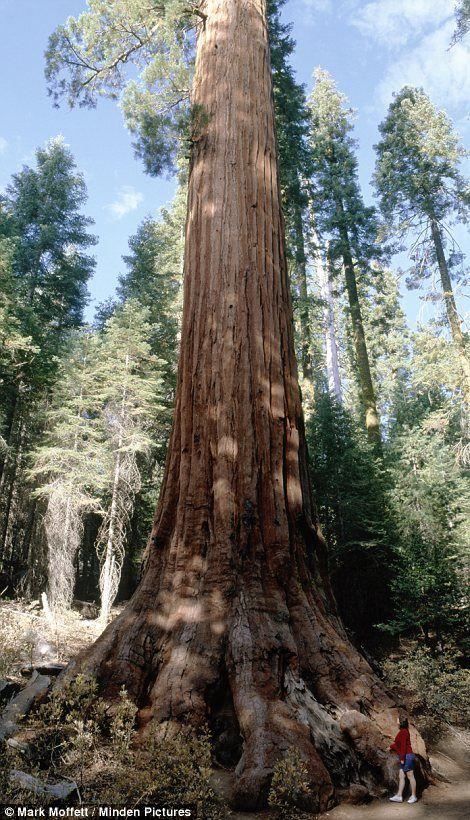 sequoia mammutb ume b ume wachsen nur auf dem westhang der bergkette die kalifornien und nevada. Black Bedroom Furniture Sets. Home Design Ideas