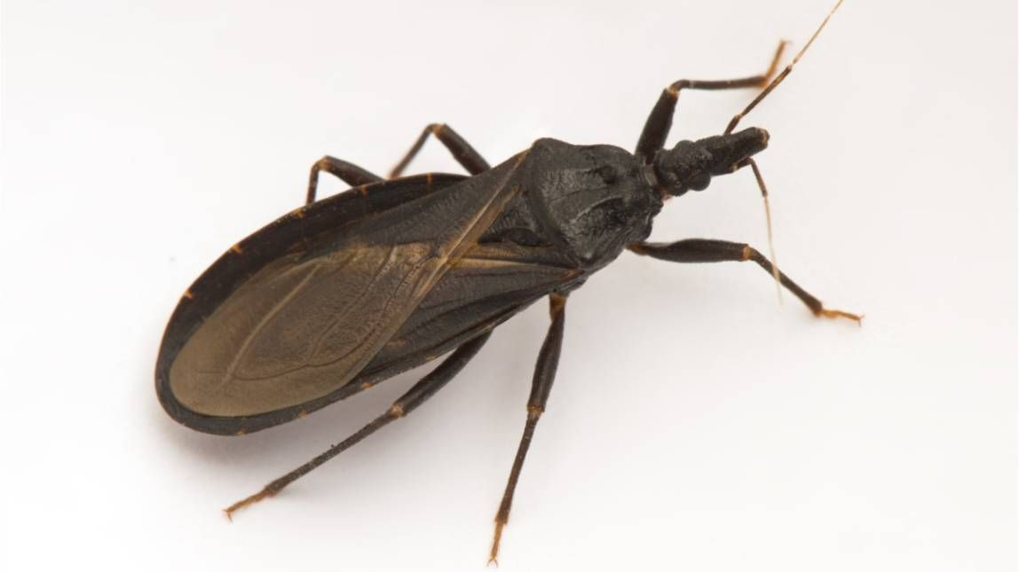 Chagas Disease Why U S Doctors Are Warning About The Kissing