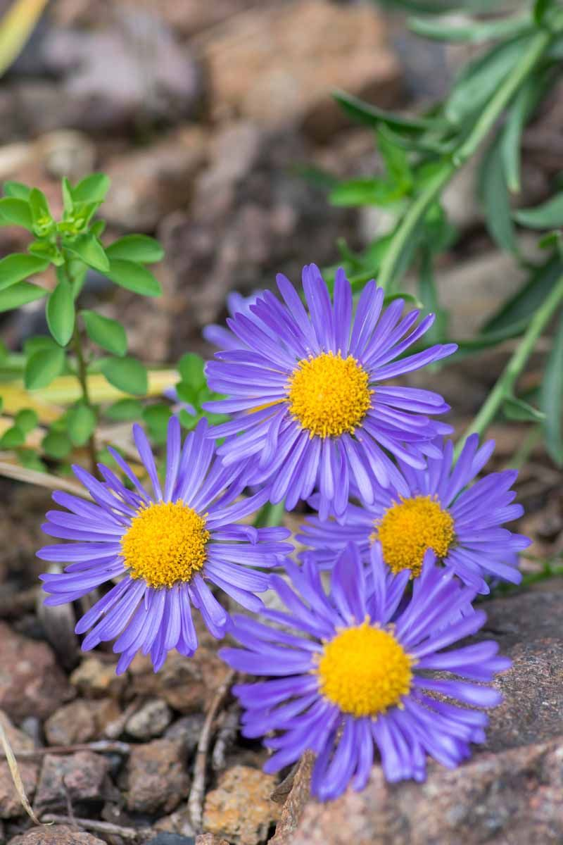 How To Grow And Care For Alpine Aster Gardener S Path Perennials Growing Lilies Plants
