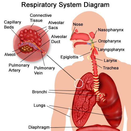 Organs Of The Respiratory System And Their Functioning Pinterest