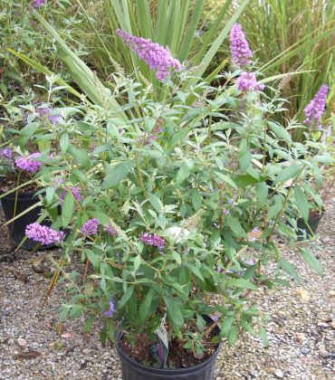 buddleia grow verly large and attract butterflies. Cut way down to control size. Deer proof too!