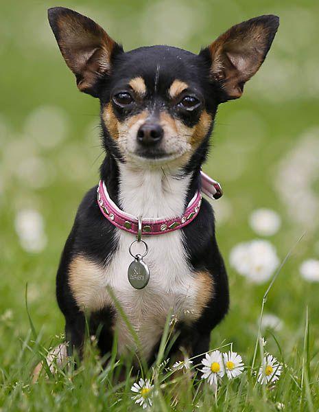 Chihuahua Looks like my Cocobean ) Chihuahua love