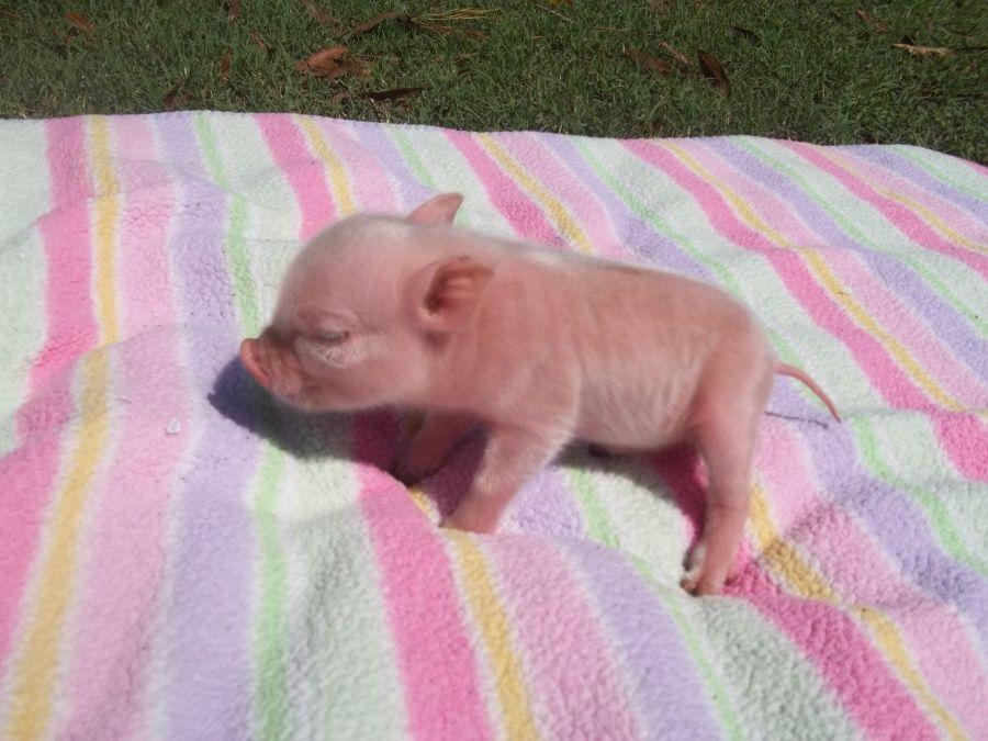 pet baby pig | animali | Pinterest