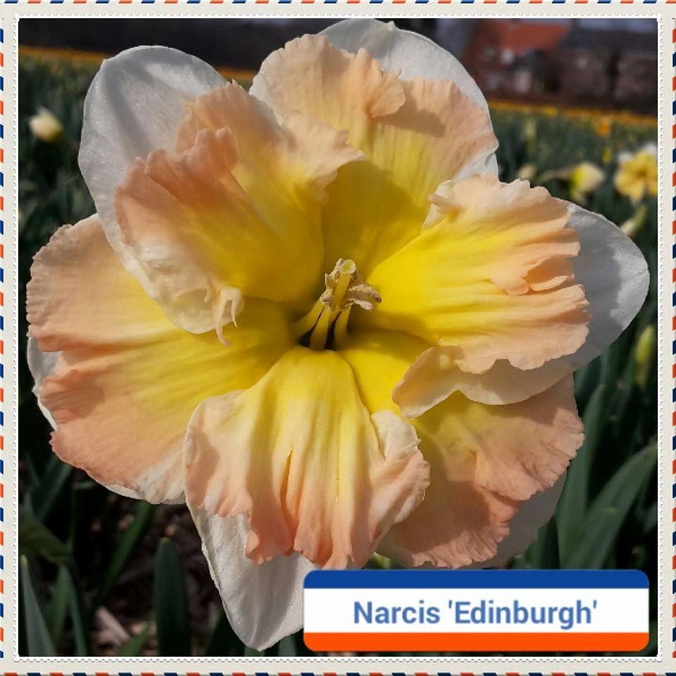 Narcis Edinburgh