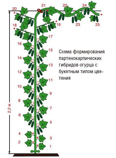 Формирование огурцов в теплице: правильно.