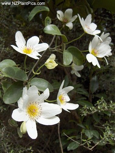clematis paniculata nz native bush clematis puawhananga white clematis aotearoa land of the. Black Bedroom Furniture Sets. Home Design Ideas