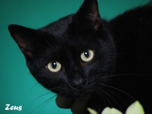 Zeus Is An Adoptable Domestic Short Hair Black Cat In Indianapolis In Meet Zeus He Is A Handsome Boy With S Cats Black Cat Australian Cattle Dog Blue Heeler