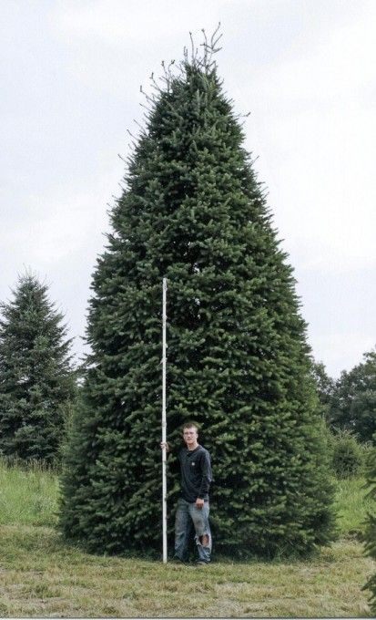Evergreen Trees Evergreen Trees Evergreen Types Of Christmas Trees