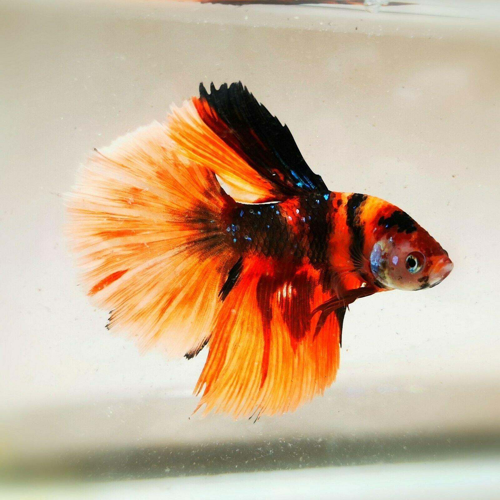 Beautiful Betta Fancy Multicolor Halfmoon Betta Fish Types Betta Fish Betta