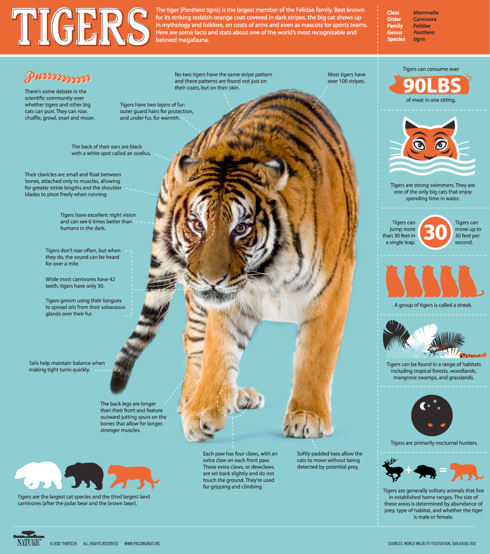 Siberian Tiger Quest Tiger facts, All about tigers