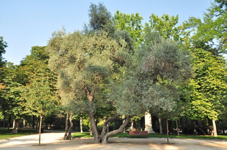 Senda botánica del Retiro número seis, Olivo (60) (<i>Olea europaea</i>)