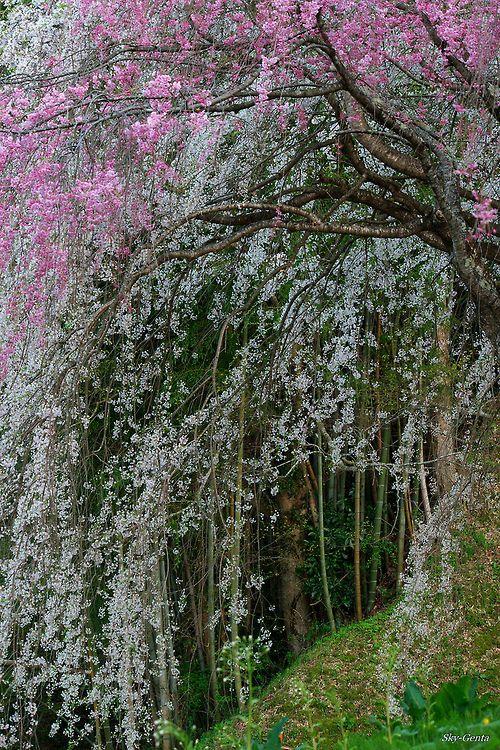 Drooping Cherry Tree Cherry Trees Garden Cherry Tree Tree