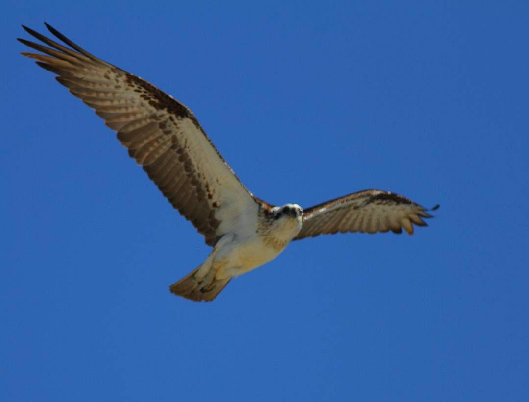 #osprey #rottnestisland #perth #ornithology #birdsofaustralia #australianwildlife #canon7d by salfordmartin http://ift.tt/1L5GqLp