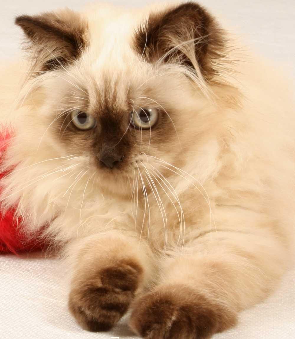 Handsome Himalayan kitten Cat breeds, Pretty cats