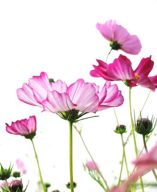 横顔 Side View Of Pink Cosmos Flower Painting Cosmos Flowers Month Flowers