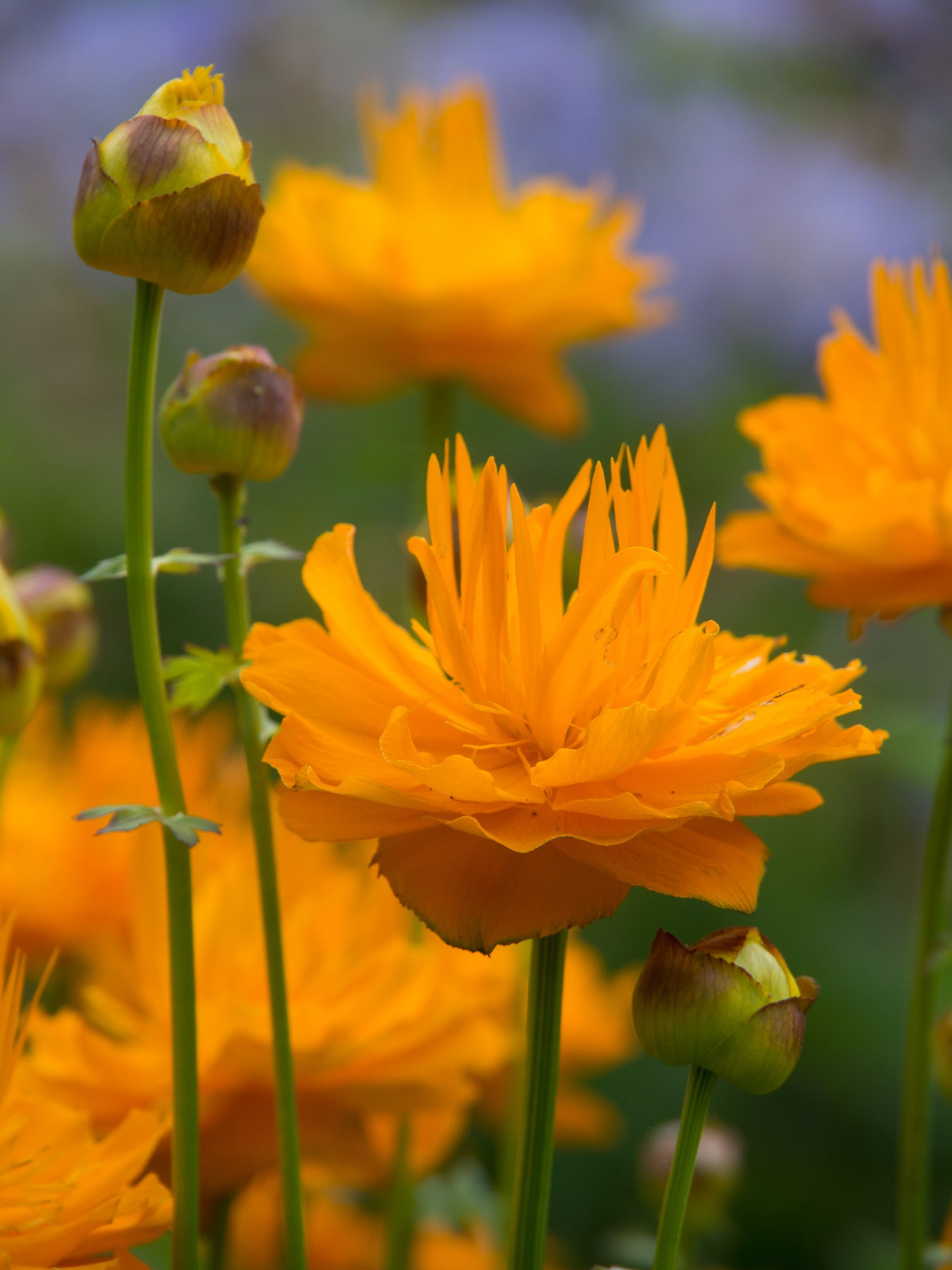 Trollius 'Dancing Flame' took Best in Show title at New