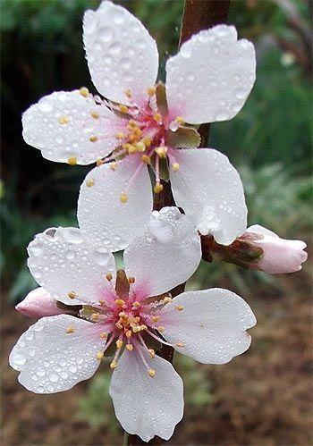 Almond Tree Flowers | Almond blossom, Almond flower, Blossom flower